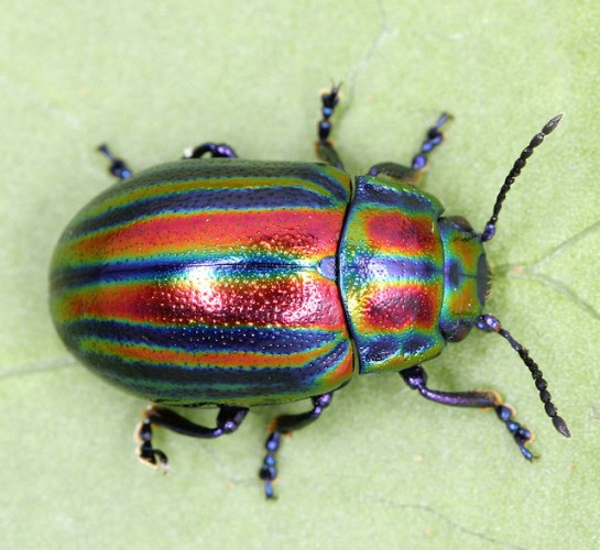 The Extremely Rare Rainbow Leaf Beetle Is A Major Treat ...
