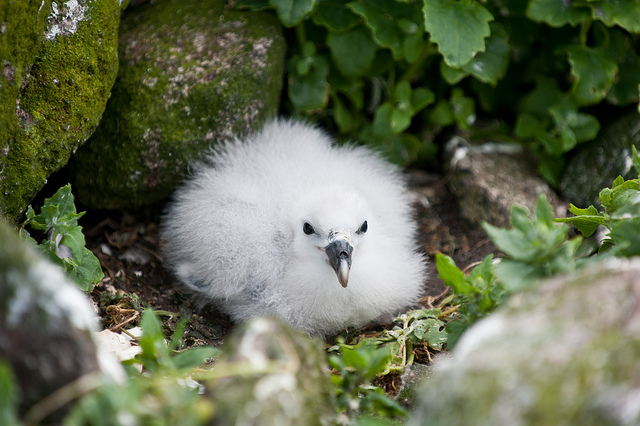 Northern Fulmar chick (Fulmarus glacialis), animal defense