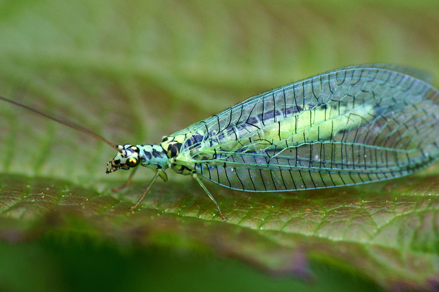 Chrysopa perla, green lacewing (3)