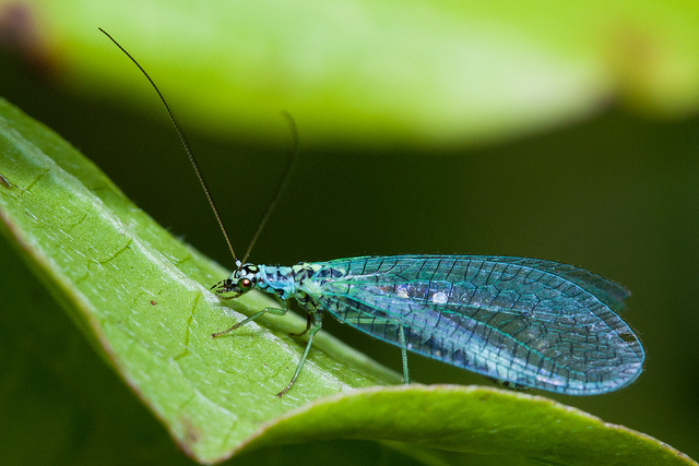 Chrysopa perla, green lacewing