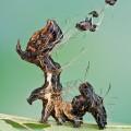 Harrisimemna trisignata, Harris' Three Spot, ugly caterpillar (4)
