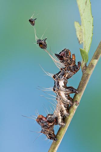 Harrisimemna trisignata, Harris' Three Spot, ugly caterpillar (5)