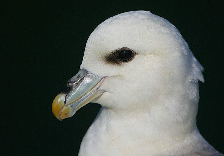 nothern fulmar, animal defense