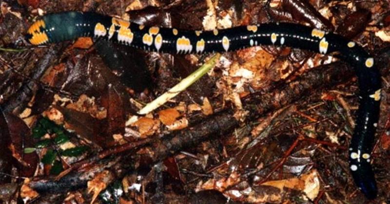 fried eggs worm, Archipheretima middletoni (1)