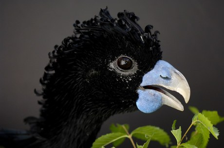blue-billed curassow, Crax alberti (2)
