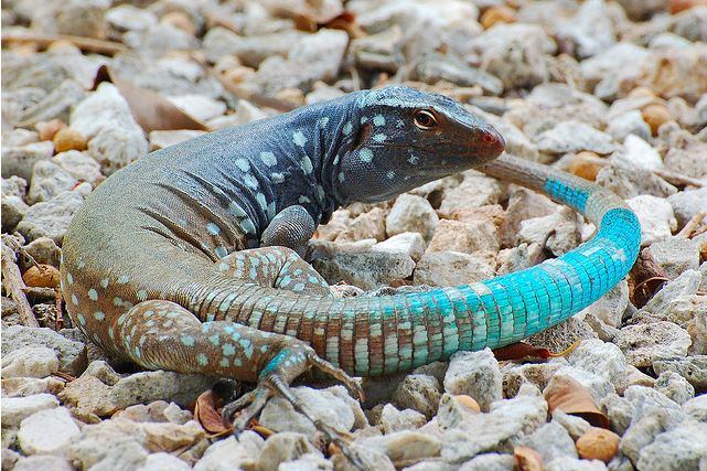 Whiptail Blue Lizards Are Sexy Beasts Living on Islands in the Caribbean. Me Likey.