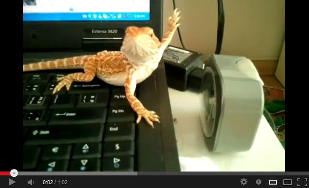 Baby Bearded Dragon Does an Interpretive Dance