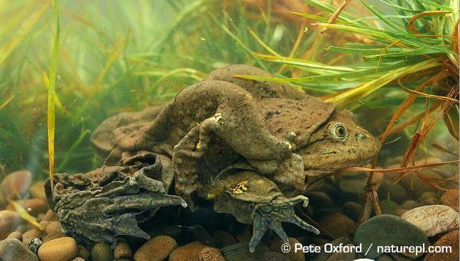 aquatic scrotum frog, lake titicaca frog, Telmatobius culeus (4)
