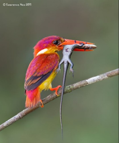 The Tiny Rufous-backed Kingfisher Makes No Excuses For its Impressive Appetite