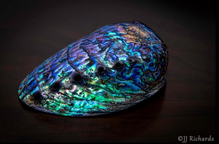 Haliotis iris, Paua shell, abalone (8)
