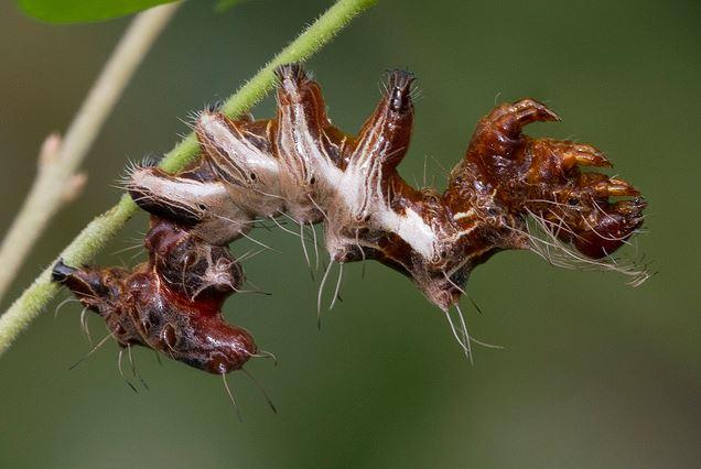 Harrisimemna trisignata, Harris' Three Spot, ugly caterpillar (3)