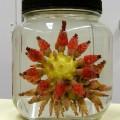 Chondrocidaris brevispina, short-spined urchin (1)