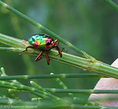 eurhinus magnificus, weevil (3)