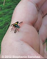 eurhinus magnificus, weevil (5)