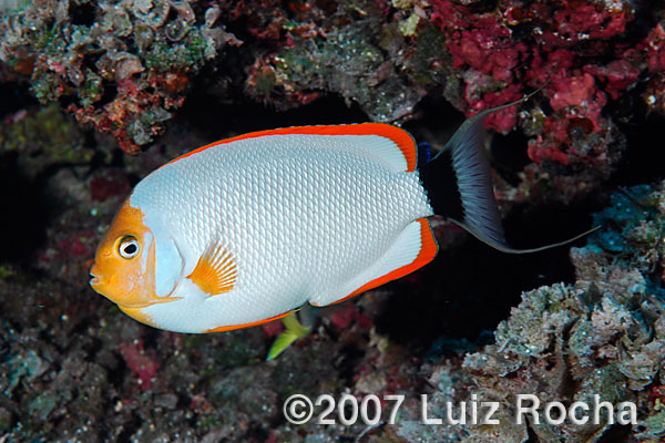 Five of the rarest marine aquarium fish featured creature for Exotic saltwater fish