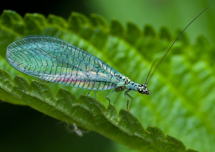 Green Lacewing: the Tiny (Yet Fabulous) Insect is Adorned ...