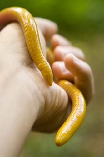 Schistometopum Thomense, Sao Tome caecilian, cobra bobo (4)