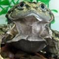 aquatic scrotum frog, lake titicaca frog, Telmatobius culeus (3)