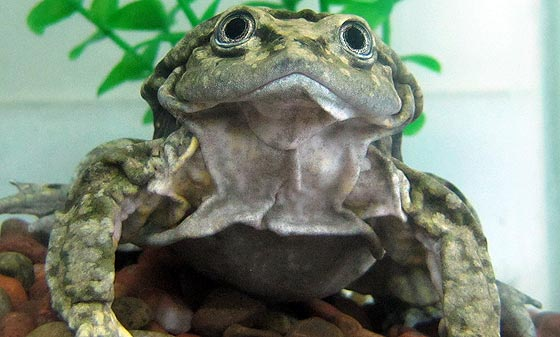 Alright, Here's the Aquatic Scrotum Frog: a Name and a Face You Won't Soon Forget!
