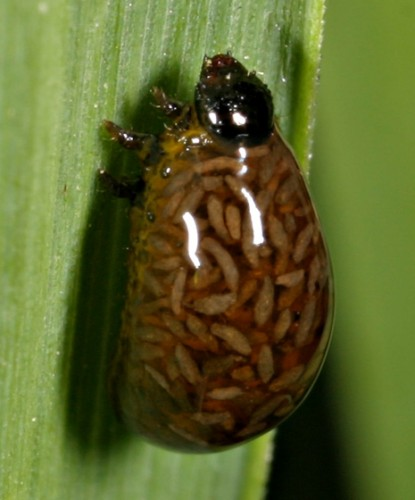 cereal leaf beetle larvae poop, animal defense
