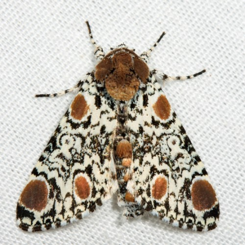 Harrisimemna trisignata, Harris' Three Spot, ugly caterpillar (1)