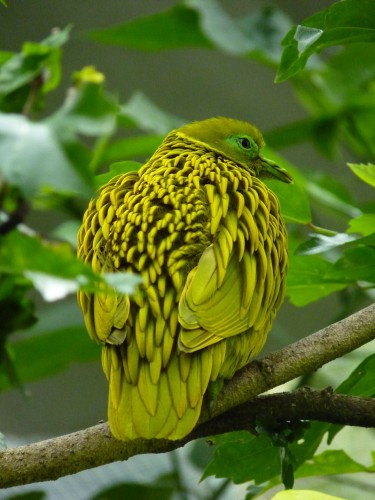 golden fruit dove, Ptilinopus luteovirens (1)