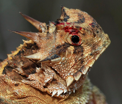 texas horned lizard, animal defense