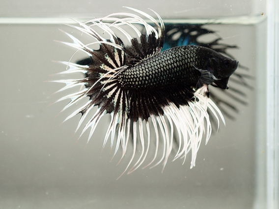 is this the coolest looking betta fish ever