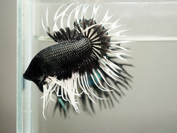 black crowntail betta fish ct