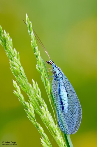 Chrysopa perla, green lacewing (2)
