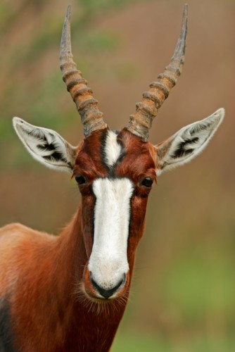 Bontebok are Incredibly Handsome 'Extinct in the Wild' Creatures