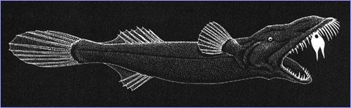 Prince Axel's Wonder Fish, Thaumatichthys axeli (3)