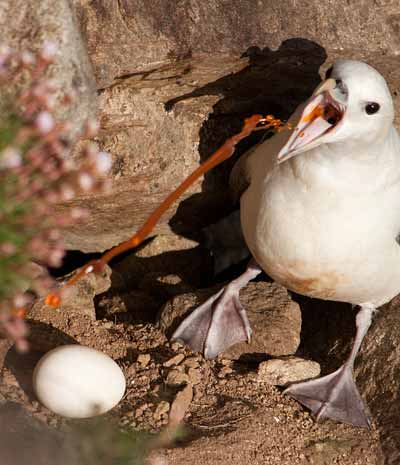 animal defense, fulmar chick vomit