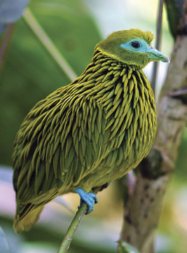 The Golden Fruit Dove Gets the Gold For Best Feathered Hairstyle.