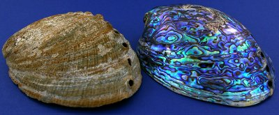 Haliotis iris, Paua shell, abalone (2)