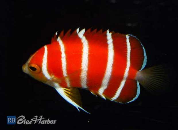 Five of the rarest marine aquarium fish featured creature for Take me fishing org