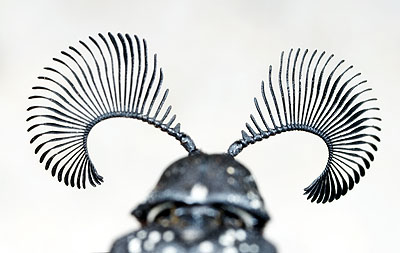feather-horned beetle, Rhipicera femorata (1)