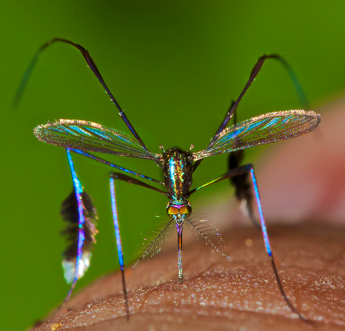 Now This is Buzzworthy: Rare Species of Mosquito is World's Most Beautiful