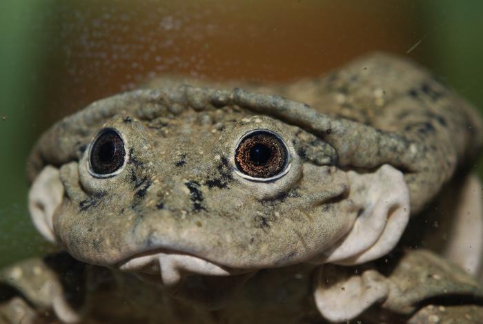 aquatic scrotum frog, lake titicaca frog, Telmatobius culeus (2)