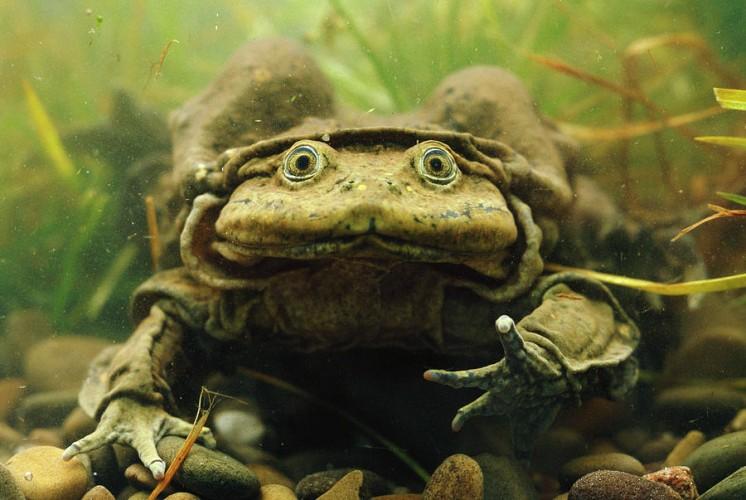 aquatic scrotum frog, lake titicaca frog, Telmatobius culeus (1)