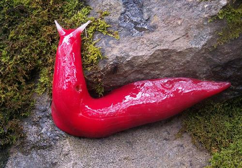 Breaking: New Species of Bizarre Blood Red Slug Discovered!