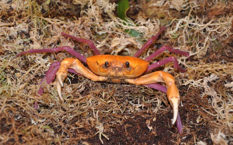 madagapotamon humberti, malagasy freshwater crab (7)