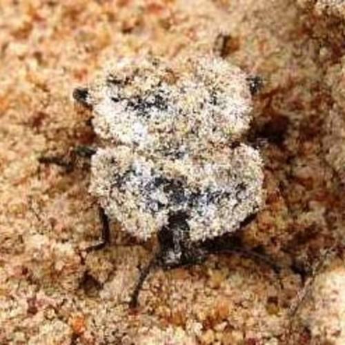 mouldy beetle, Eurychora (4)