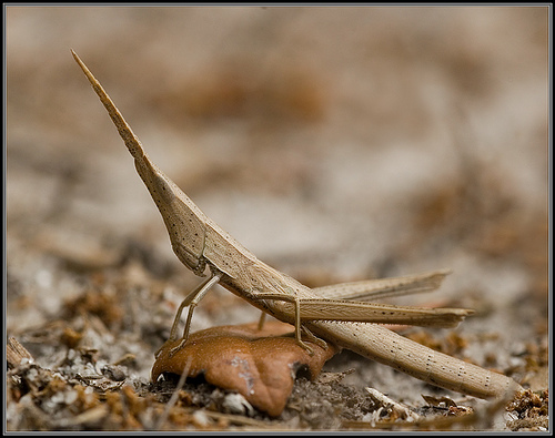Toothpick Grasshopper: Not Recommended by Most Dentists