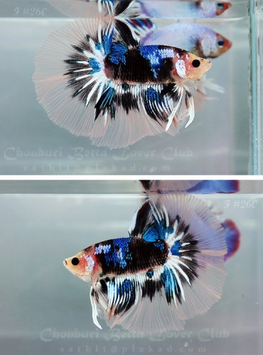 ALERT! Another Gorgeous Betta Fish To Feast Your Eyes On!