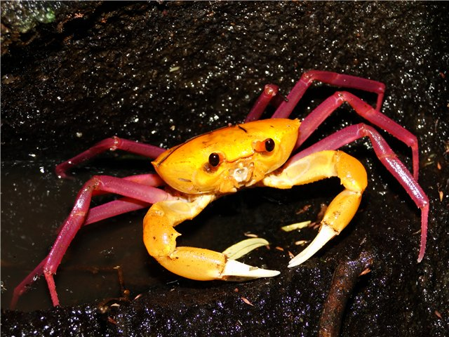The Malagasy Freshwater Crab Looks Straight Out of Barbie's Mansion