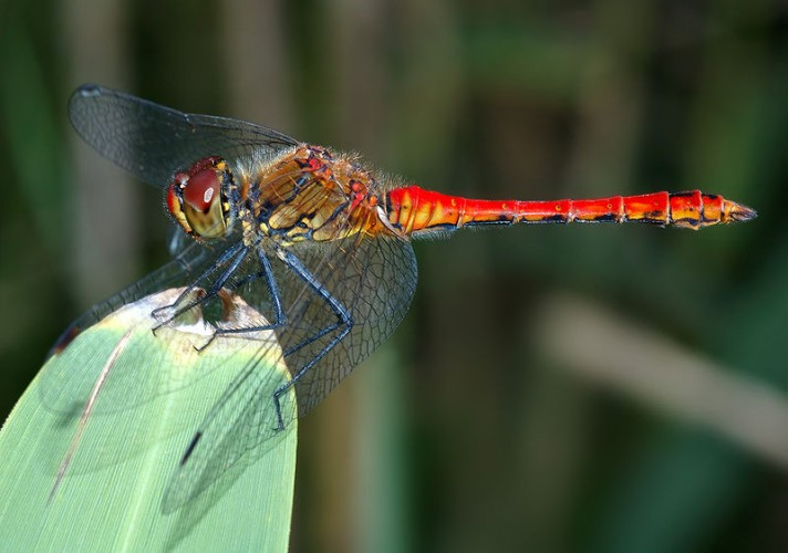 800px-Sympetrum_sanguineum, dragonfly, insects in