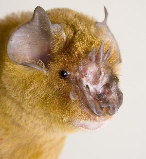 chewbacca bat, Triaenops persicus (2)