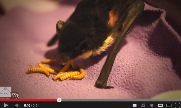 Nom Nom Bat Enjoys Nomming