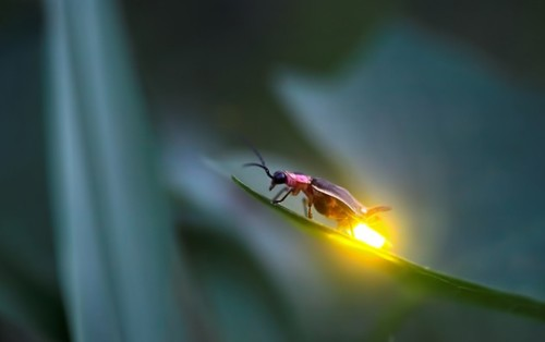 firefly, insects in